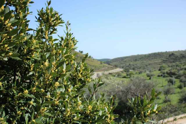 olive trees land parcel for sale